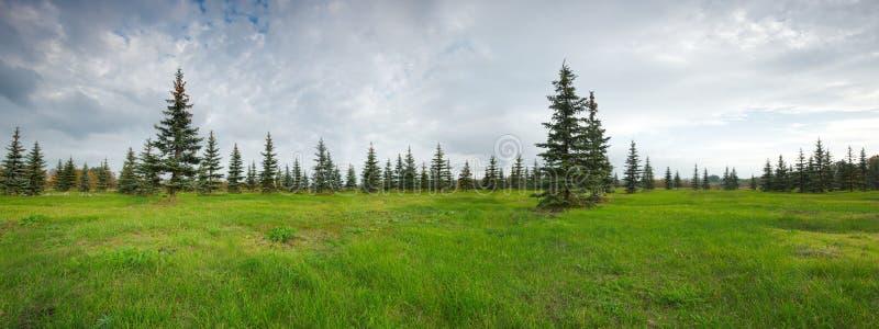 Barrträds- granskog och grönt gräs royaltyfri fotografi