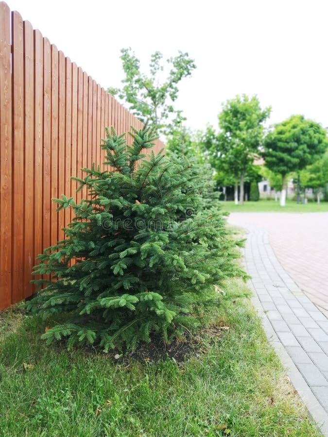Barrträds- lågt träd i bakgrunden av staketet längs trottoaren royaltyfri fotografi