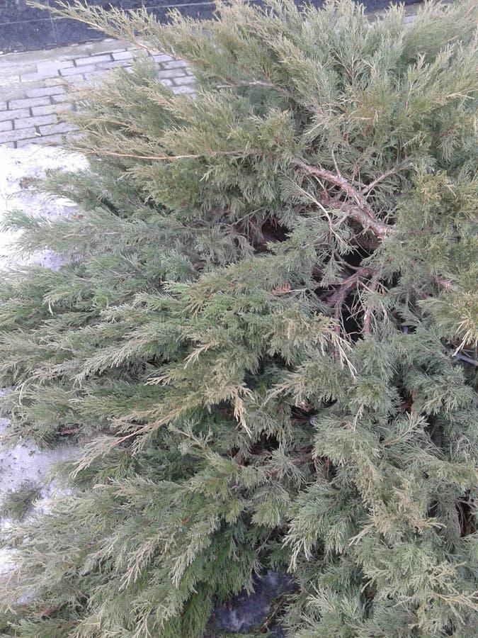 Barrträdträd arkivbilder
