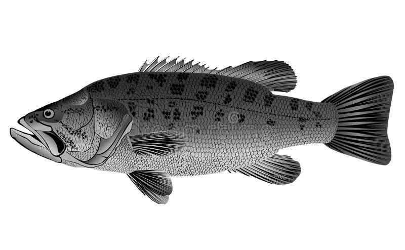 Barsch - Micropterus salmoides lizenzfreies stockbild