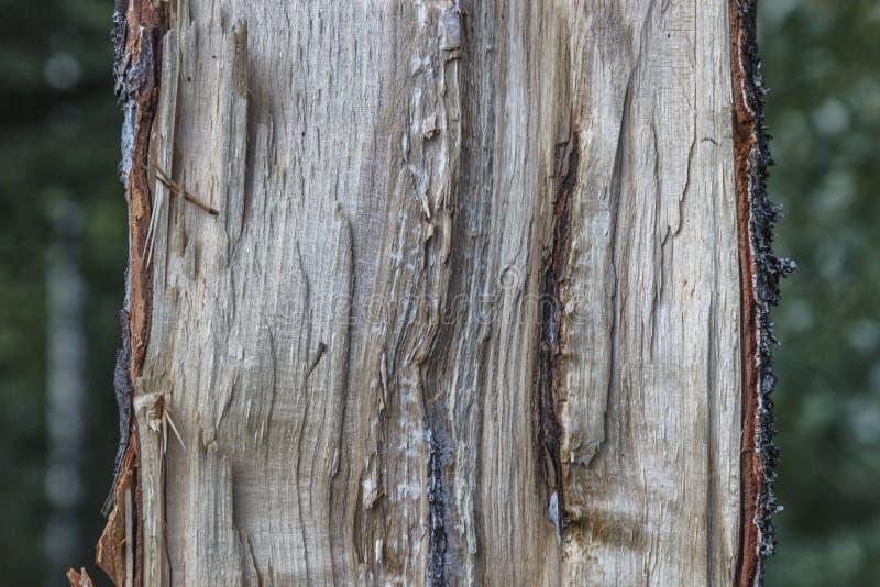 Barstte de helft van boom boomboomstam in het hout royalty-vrije stock afbeelding