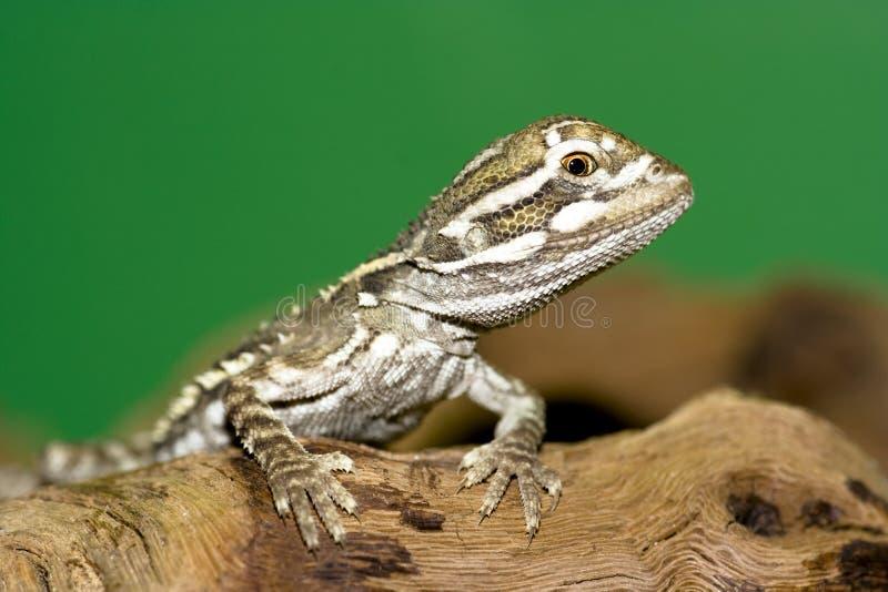 Download Bartagame - stock photo. Image of primal, iguana, exotic - 12550010