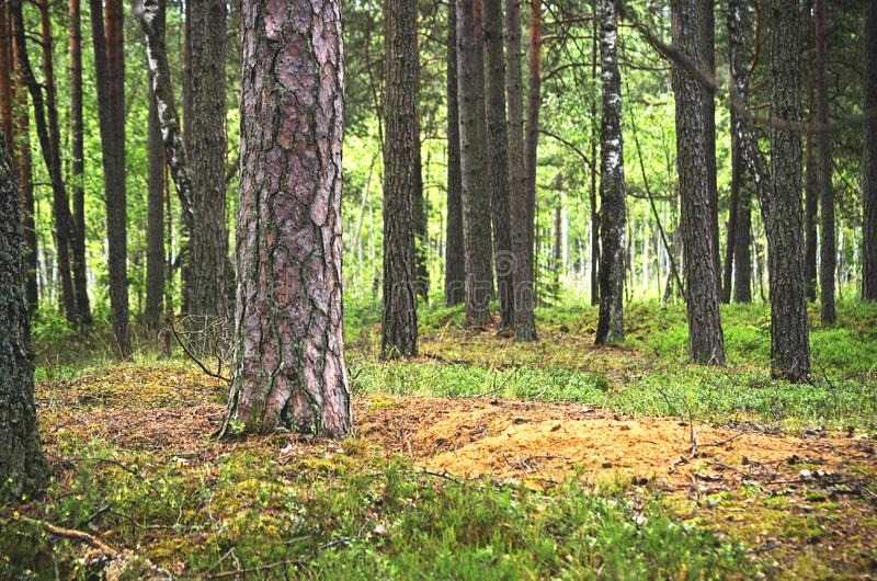 Bartkuskis forest in lithuania royalty free stock photos
