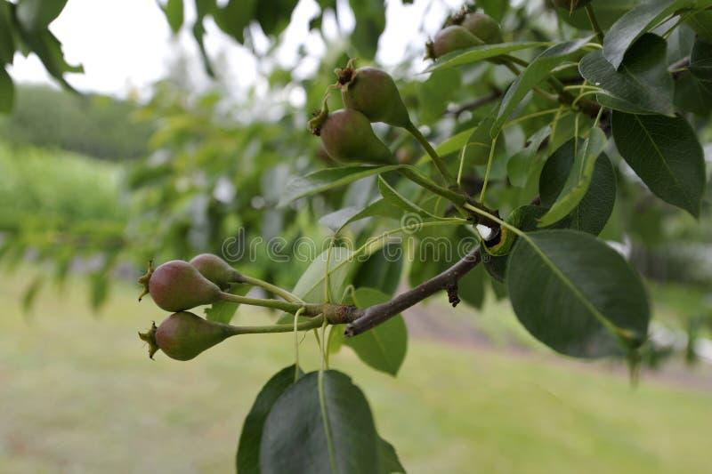 Bartlett Pears lizenzfreies stockfoto