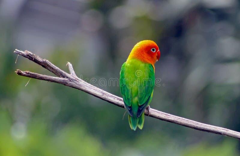 Barwiącego Fischer lovebird fotografia stock