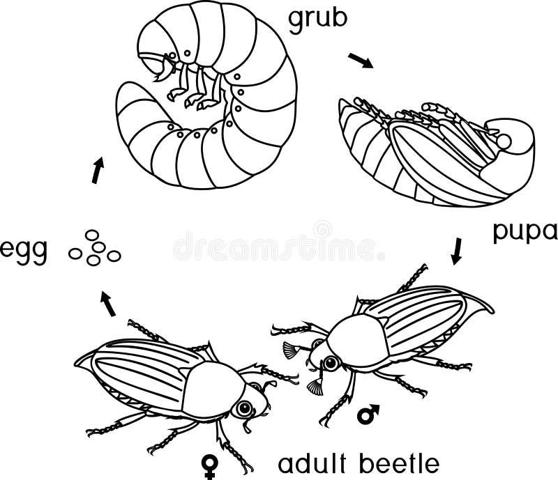 Barwić stronę z etap życia chrząszcz Sekwencja sceny rozwój chrząszcz od jajka dorosła ściga royalty ilustracja