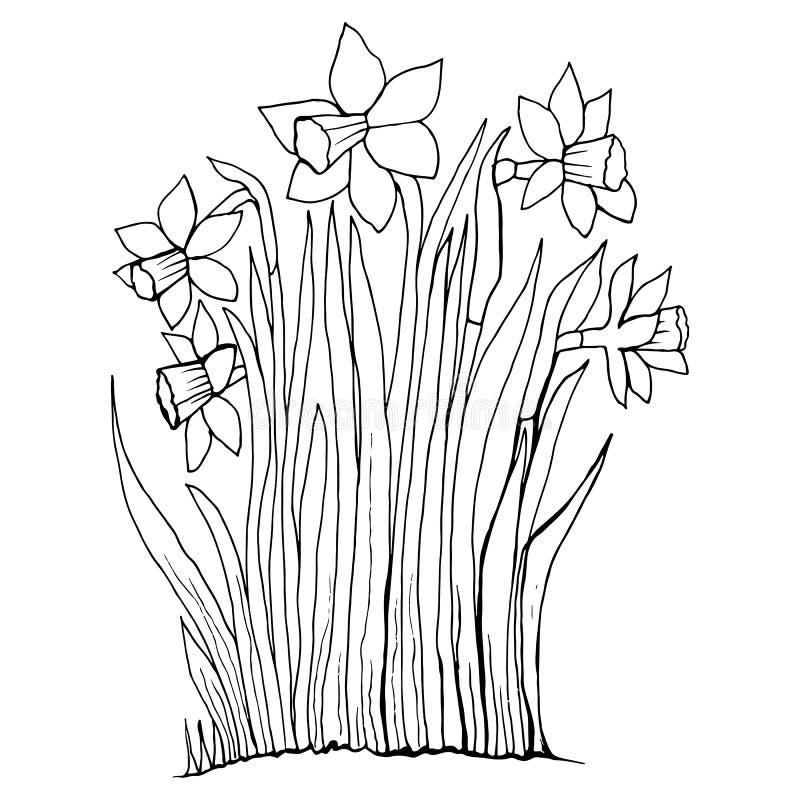 Barwić strona inkasowych kwiaty narcyz ilustracji