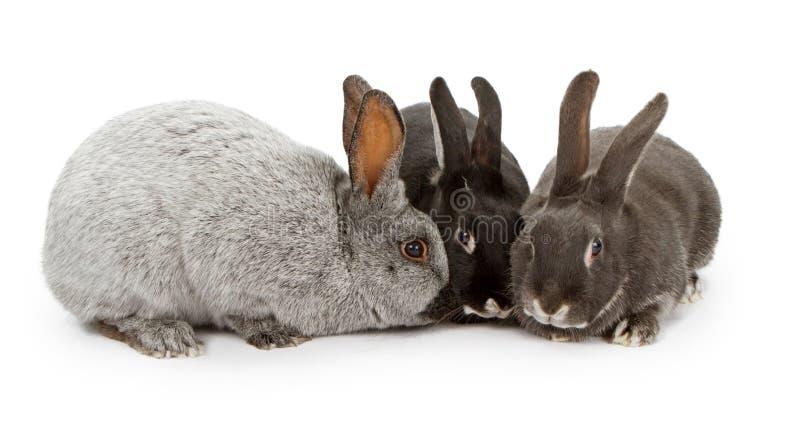 barwi różnych króliki trzy fotografia stock