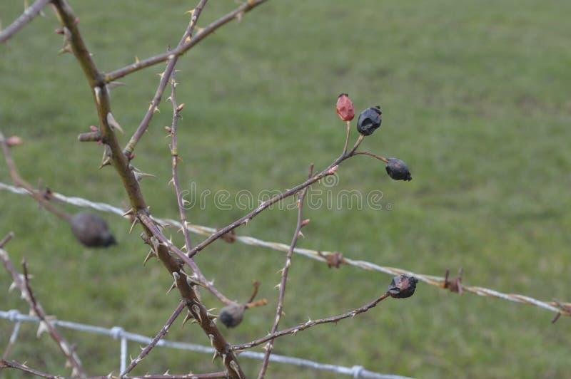 Barwiarscy dzicy różani biodra w wiośnie zdjęcia royalty free