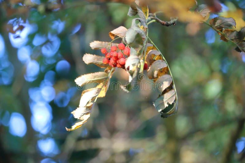Barwiarska Dzika Elderberry owoc obraz stock