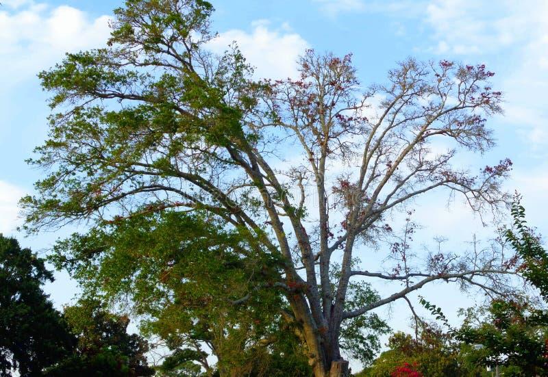 Barwiarski drzewo w wczesnym lecie obrazy stock