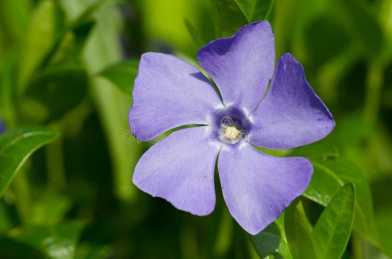 Barwinka kwiat obraz stock