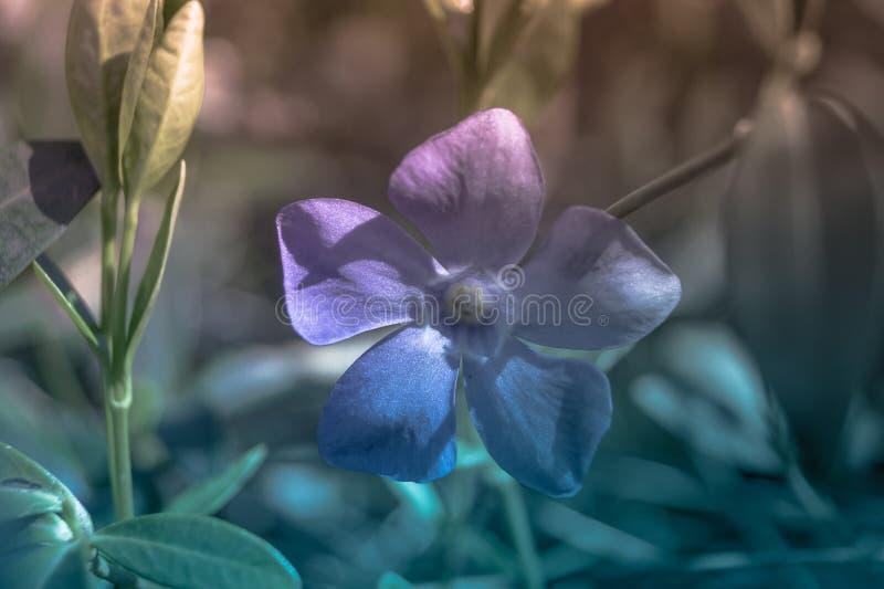 Barwinka kwiat na barwionym tle fotografia royalty free