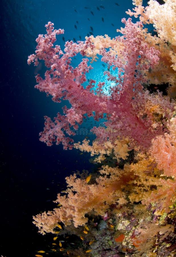 barwiona koralowa Egypt czerwieni rafy morza miękka część zdjęcie stock