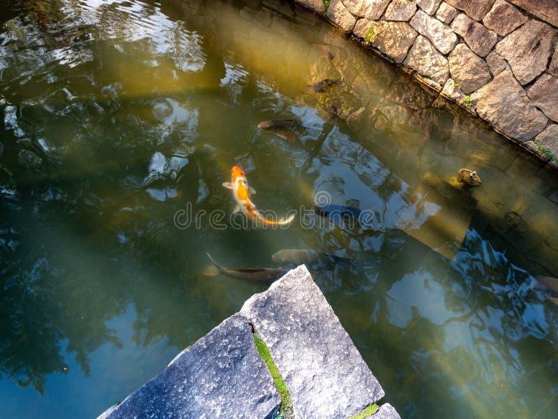 Barwioni carpes w Nara Japonia Goup koja łowi w wodnym basenie w Nara Japonia obrazy royalty free