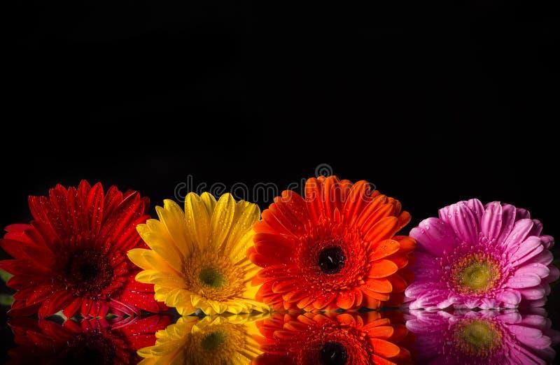 Barwioni gerber kwiaty fotografia royalty free
