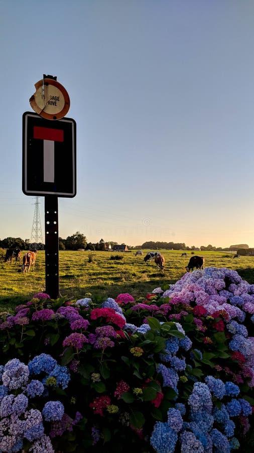Barwioni kwiaty i Belgijskie krowy fotografia royalty free