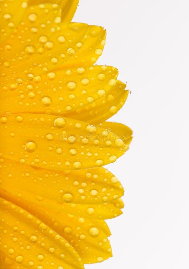 Barwiony gerber kwiat zdjęcia stock