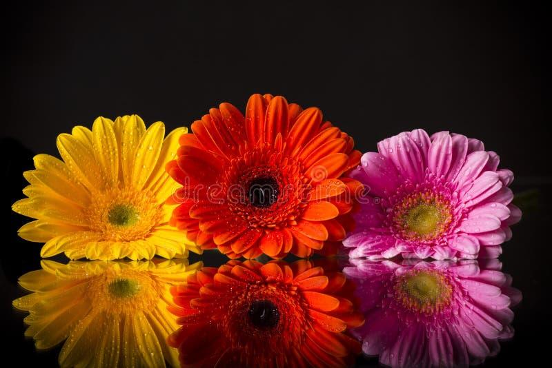 Barwiony gerber kwiat zdjęcie stock