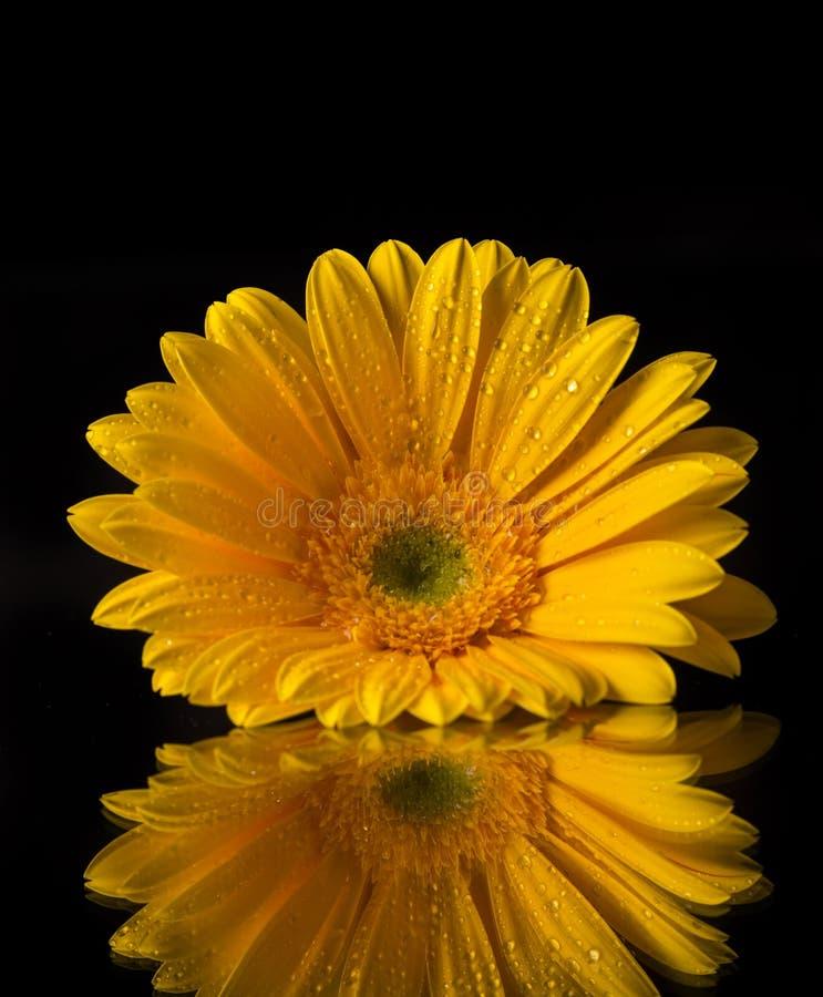 Barwiony gerber kwiat zdjęcie royalty free
