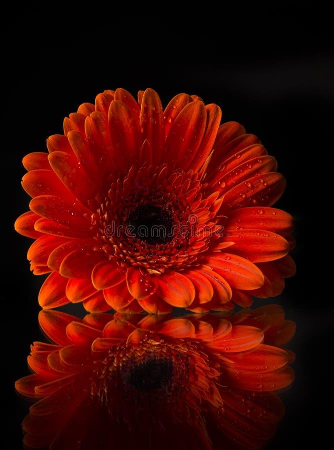 Barwiony gerber kwiat obraz royalty free