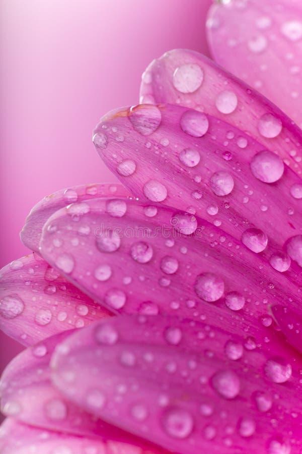 Barwiony gerber kwiat obraz stock