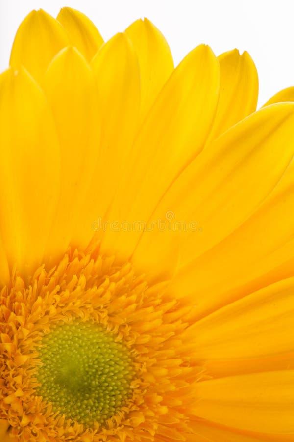 Barwiony gerber kwiat fotografia stock