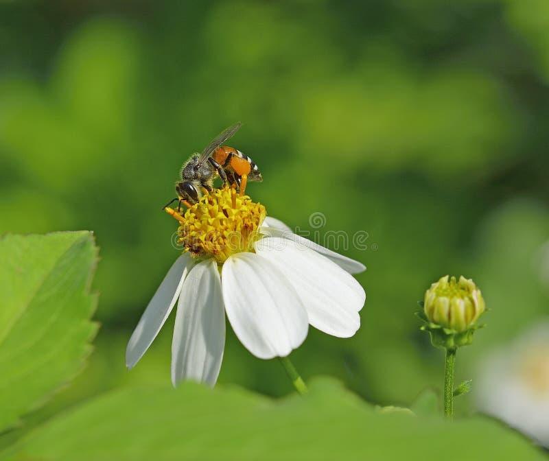 bary pszczoła czyścić nektar ramową pracę zdjęcia stock
