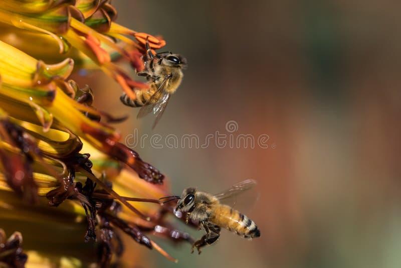 bary pszczoła czyścić nektar ramową pracę obrazy stock