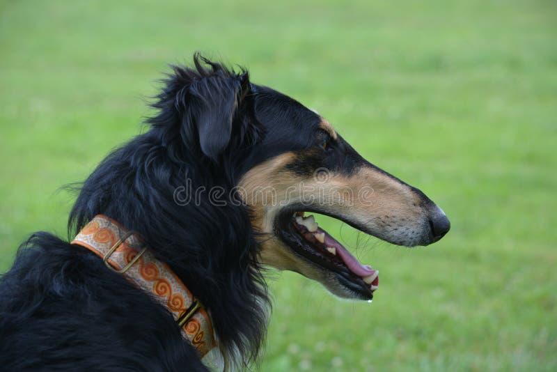 Barzoi-Russischer Windhund schwarz und Sonnenbräunemannesprofil lizenzfreies stockfoto