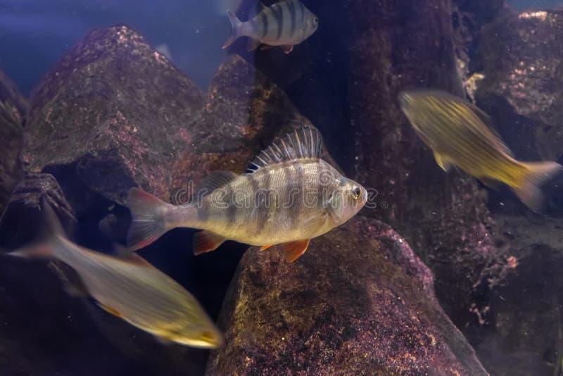 Bas - rov- fisk som bor i sötvatten av Europa och Asien arkivfoton