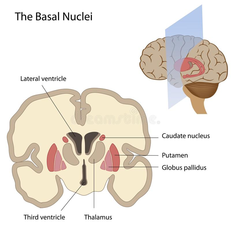 Download The Basal Nuclei Of The Brain Stock Vector - Image: 24509364