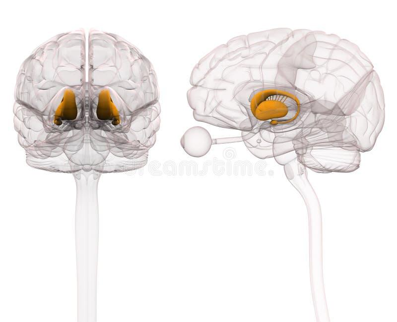 Basalganglien - Anatomie-Gehirn - Illustration 3d Stock Abbildung ...