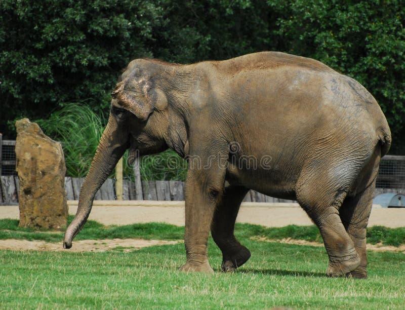 Basculador do elefante fotografia de stock
