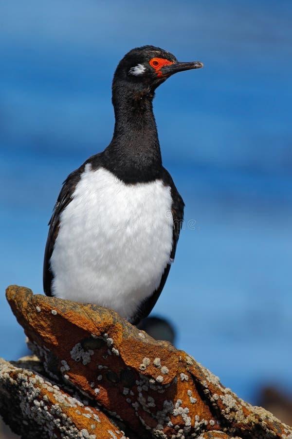 Basculez la tapis à longs poils, le magellanicus de Phalacrocorax, cormoran noir et blanc avec l'emplacement rouge de facture sur image libre de droits