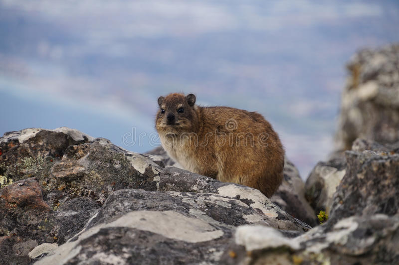 Basculez le dassie, sur la montagne de Tableau, Cape Town, Afrique du Sud images libres de droits