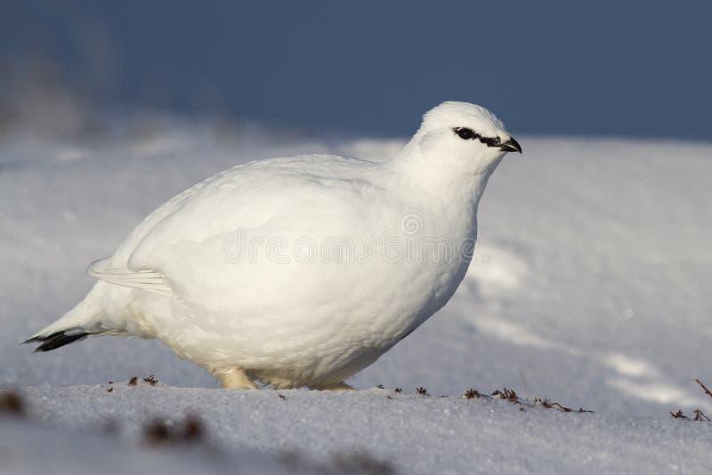 Basculez le mâle de lagopède alpin qui se tient dans la toundra d'hiver photographie stock libre de droits
