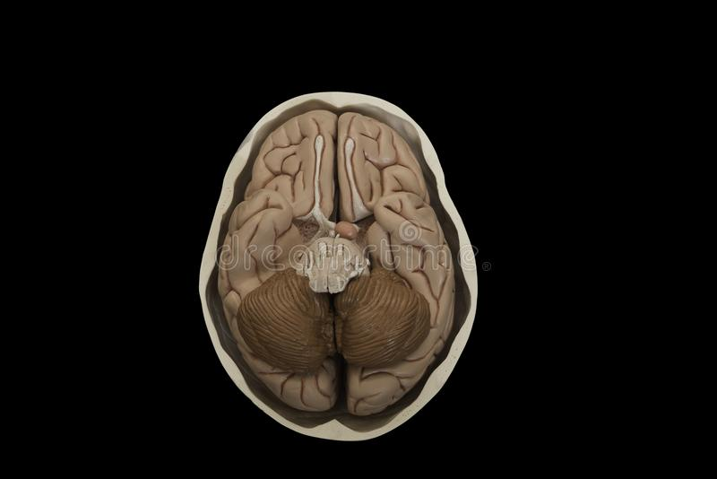 Base Of Brain Model In The Skull Isolated On Black Background Stock