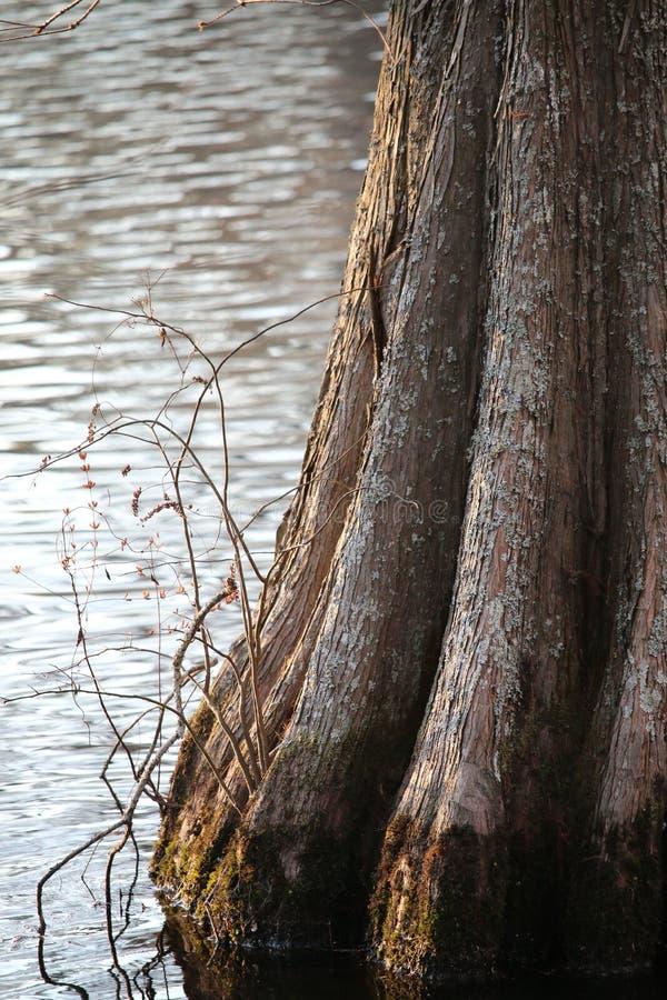 Base d'arbre de Cypress dans l'eau noire photo libre de droits