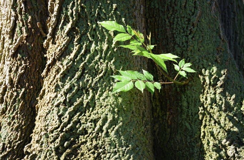 Base de árvores de cinza sempre-verdes ao longo de um trajeto do acordo no coração de madeiras de Laguna, Califórnia fotografia de stock royalty free