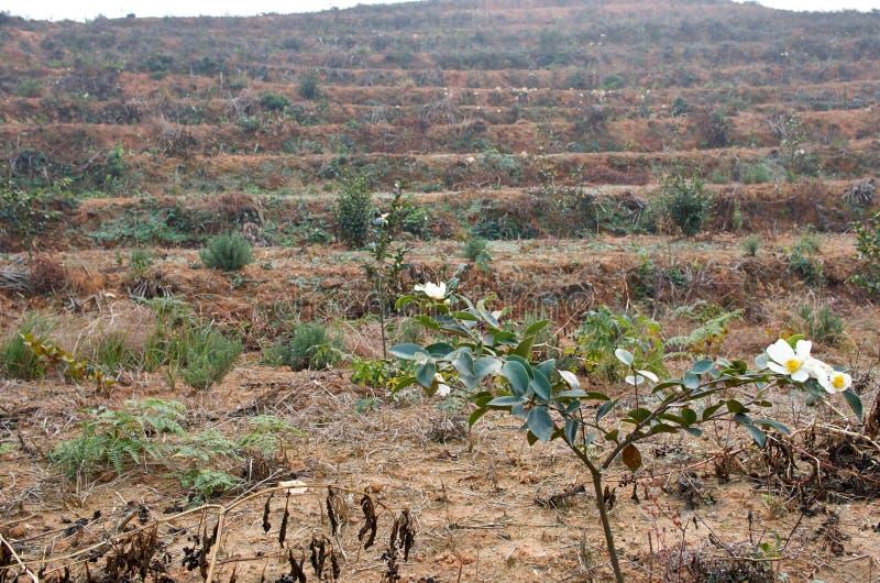Base de camélia oleifera photographie stock
