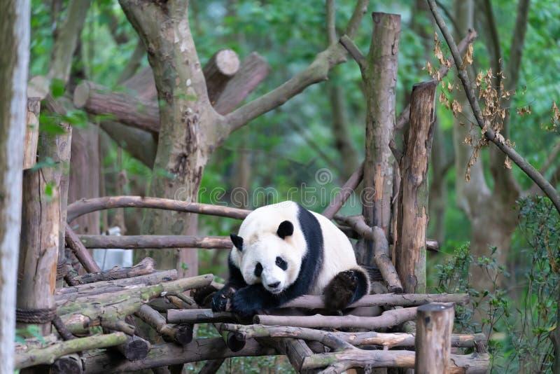 Base de la cría de la panda de Chengdu fotos de archivo libres de regalías