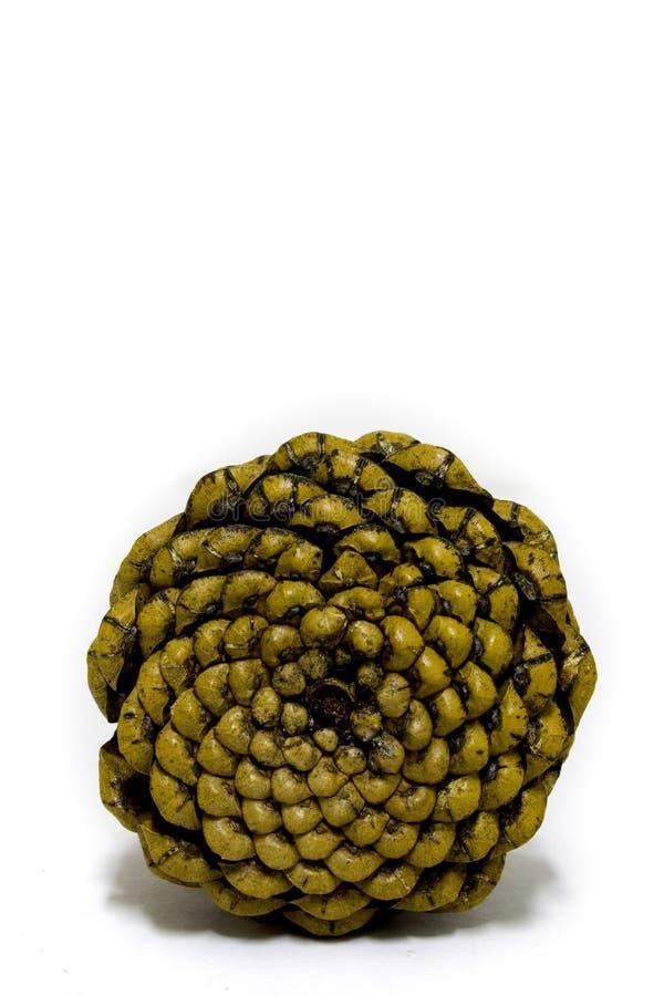 Base del cono del pino fotografie stock libere da diritti
