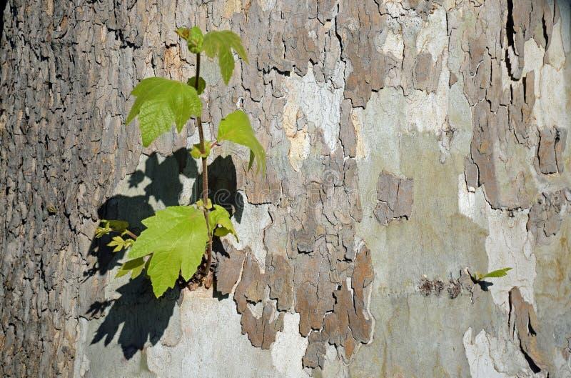 Base di un albero del sicomoro lungo un percorso di camminata nel cuore del legno di Laguna, California fotografia stock
