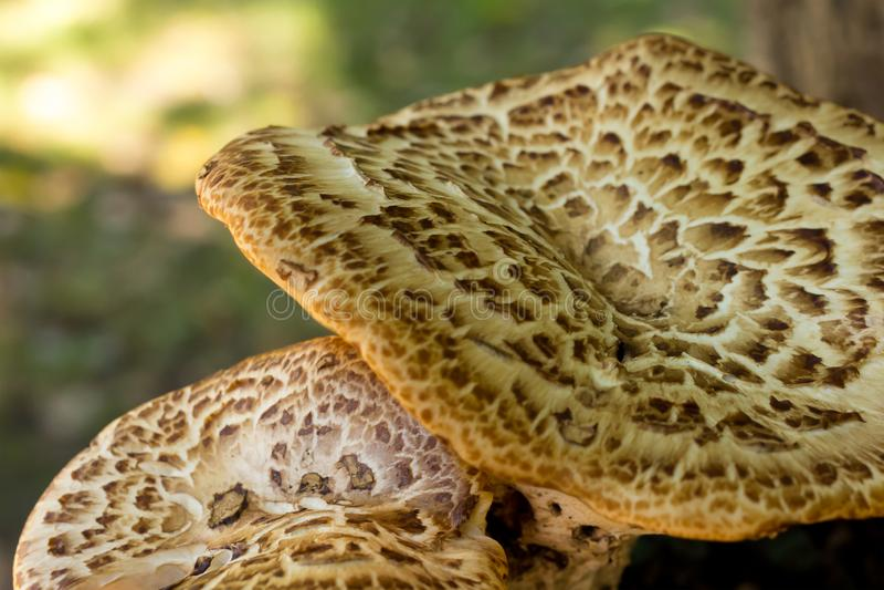 Base en gros plan chinée brune de conception de fond végétal sauvage de chapeau de champignon sur la plénitude verte brouillée images libres de droits