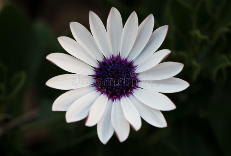 Base púrpura foto de archivo libre de regalías