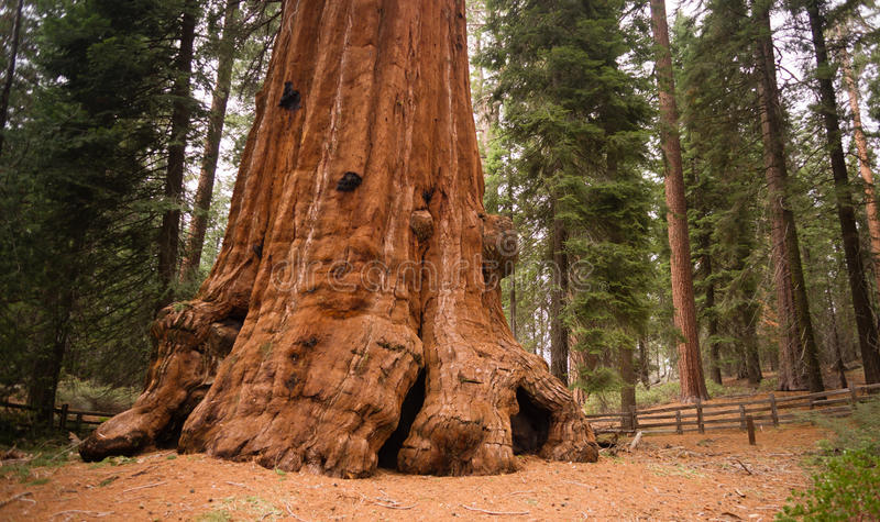 Base Roots Giant Sequoia Tree Forest California stock photo
