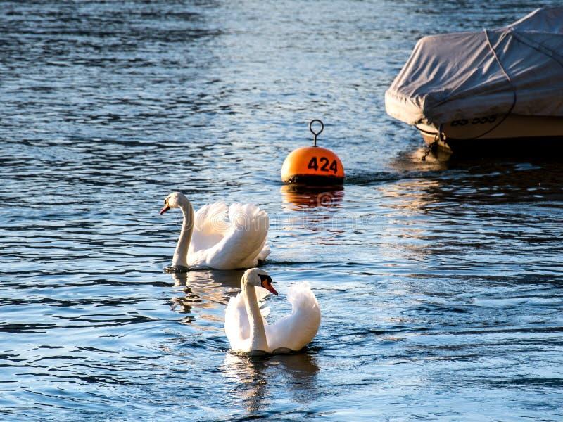 Basel, schwimmender Cygnus zwei in dem Fluss Rhein mit einem kleinen Boot im Hintergrund, ein Cygnus ist im Fokus stockfotografie