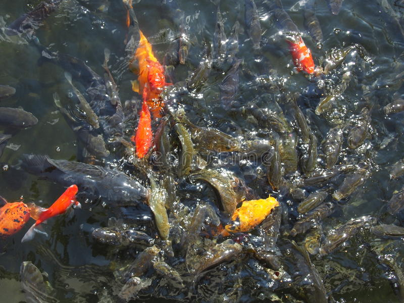 Basen woda z ryba fotografia royalty free