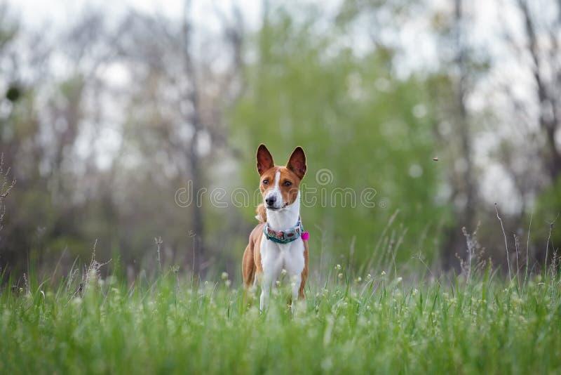 Basenji狗步行在公园 春天 免版税库存照片